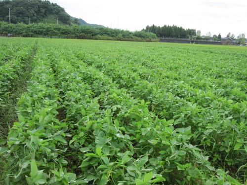 無農薬自然栽培の大豆畑